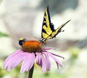 Yellow Butterfly & Bumble Bee Share Flower. Eastern Tiger Swallowtail and Bumble Bee share a Purple Cone Flower Royalty Free Stock Images