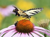 Yellow Butterfly & Bumble Bee Share Flower. Eastern Tiger Swallowtail and Bumble Bee share a Purple Cone Flower Royalty Free Stock Photos