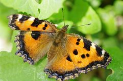 The yellow butterfly. The yellow butterflies on the leaves Royalty Free Stock Images