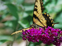 Yellow Butterfly on Butterfly Bush Stock Photos