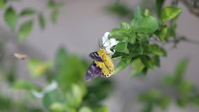 A yellow butterfly catch the white flowers to find a cluster. A yellow butterfly hovers into focus and lands on a cluster of flowers stock video footage