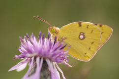 Yellow butterfly. Clouded Sulphur Butterfly macro detail on purple thistle stock photos
