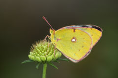 Yellow butterfly (Colias hyale) Stock Photos