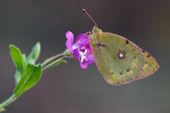 A yellow butterfly Colias hyale in the early morning. On a glade awaiting dawn stock photo