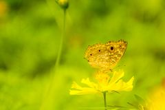 Yellow butterfly collecting nectar on yellow cosmos flower. With selective soft focus and blurry background Stock Photos