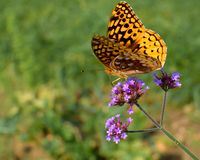 Yellow Butterfly on a Dainty Purple Flower. A yellow and black spotted butterfly or moth sitting on a dainty purple flower with green background royalty free stock photo