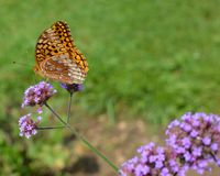 Yellow Butterfly on a Dainty Purple Flower. A yellow and black spotted butterfly or moth sitting on a dainty purple flower with green background royalty free stock photography