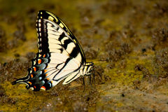 Yellow Butterfly Drinking from Muddy Ground Royalty Free Stock Image