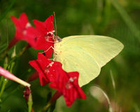 Yellow Butterfly. Early morning shot of yellow sulfur butterfly on cypress vine flowers Stock Image