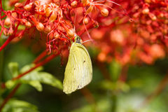 Yellow butterfly eat nectar. Of flower Royalty Free Stock Image