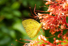 Yellow butterfly eat nectar. Of flower Royalty Free Stock Photo