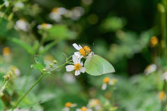 Yellow butterfly eating dew on the white flower stock photo