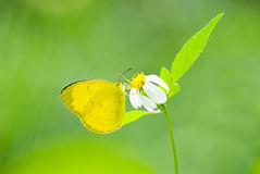Yellow butterfly feed on little white flower Stock Photo