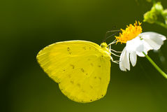 Yellow butterfly feed on little white flower Stock Images