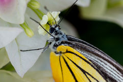Yellow butterfly feeding off a flower Royalty Free Stock Photo