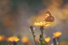 Yellow azure butterfly on flower. Yellow butterfly feeding on Yellow flower royalty free stock photography