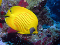 Yellow butterfly fish Stock Photos
