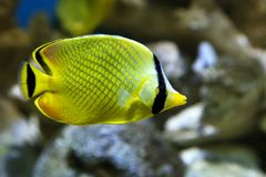 Yellow Butterfly fish Chaetodon rafflesi stock image