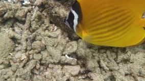 Yellow butterfly fish swimming underwater. In Siam Gulf stock video footage