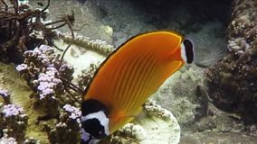 Yellow butterfly fish swimming underwater. In Siam Gulf stock footage