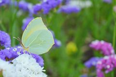 Yellow butterfly on flower close up Royalty Free Stock Photos