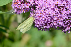 Yellow Butterfly on flower Stock Photography