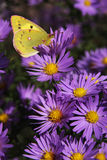 The yellow butterfly on flowers Royalty Free Stock Image