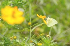 Yellow butterfly flying and collecting nectar on yellow cosmos f. Lower with selective soft focus and blurry background Royalty Free Stock Photos