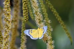 Yellow butterfly flying and swarm a pollen of betel palm flower
