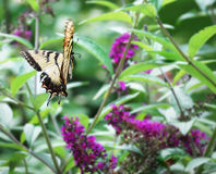 Yellow Butterfly flying to Butterfly Bush. Eastern Tiger Swallowtail flying between purple  Butterfly Bush flowers Stock Image