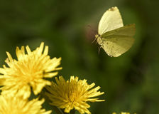 Yellow Butterfly Flying Stock Photo
