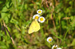 Yellow Butterfly Gathering Nectar Stock Photo