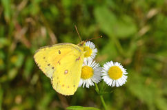 Yellow butterfly gathering nectar Stock Photography