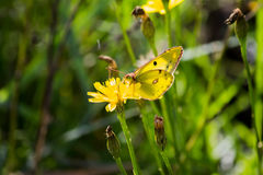 Yellow Butterfly Gonepteryx rhamni. Sits on a flower. Beautifully opened wings. Sunny day stock images