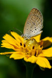 Yellow butterfly grabbing hold of a flower. Small yellow butterfly grabbing hold of a yellow flower Royalty Free Stock Photos
