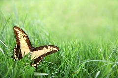 Yellow Butterfly in Green Grass Background Royalty Free Stock Photos