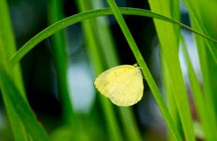 Yellow butterfly on green grass royalty free stock photo