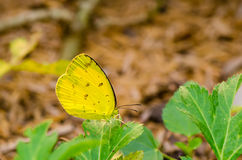 Yellow butterfly on green leaves brown background Stock Images