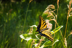 Yellow Butterfly on Greenery Royalty Free Stock Photos