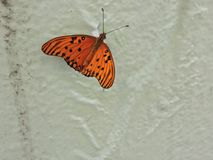 Yellow Butterfly hostel sitting on a green leaf laying eggs amid nature. Royalty Free Stock Images