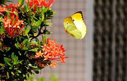Yellow Butterfly Hovering over Red Ixora stock images