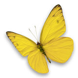 Yellow butterfly. Isolated on white background stock image
