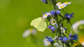Yellow butterfly laid on a blue and pink flower. In the summer meadow stock images