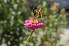 Yellow Butterfly Landing on a Zinnia Royalty Free Stock Photography