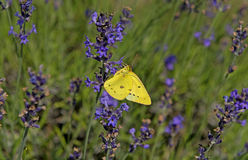 Yellow butterfly on lavender plant Royalty Free Stock Images