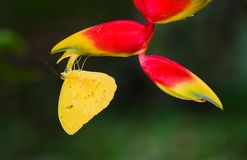 Yellow butterfly macro close-up sitting upside down on the hanging tropical flower Heliconia Heliconia pendula against green royalty free stock images