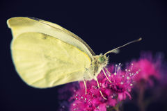 yellow butterfly macro Royalty Free Stock Image