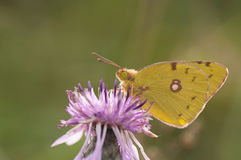 Yellow butterfly macro detail. Clouded Sulphur Butterfly on purple thistle stock photography