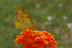 Yellow butterfly on marigold flower Stock Photos