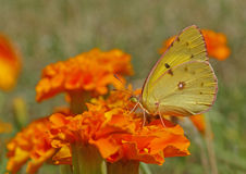 Yellow butterfly on marigold Stock Photography